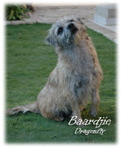 Baardjie is our main girl at Blamich Border Terriers