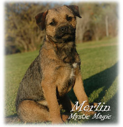 Blamich - Border Terrier Kennel  stud  Merlin