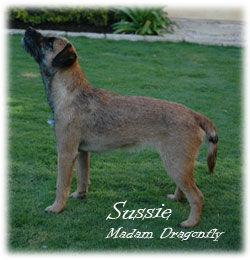 Blamich - Border Terrier Kennel parent Sussie