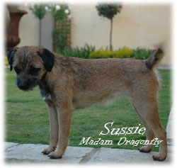 Sussie, at 8 months old,  also a new addition to Blamich Border Terriers